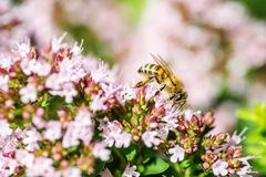 Honey Bee se encaramó en una flor que recogía el polen, abeja macra en la flor Foto de archivo libre de regalías