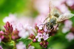 Honey Bee se encaramó en una flor que recogía el polen, abeja macra en la flor Imagen de archivo libre de regalías