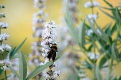Honey Bee se nourrissant du papillon Bush Images stock