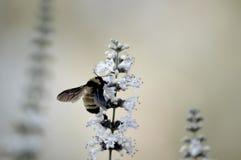 Honey Bee se nourrissant du papillon Bush Photo libre de droits