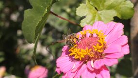 Honey bee search nectar in flower. stock footage