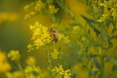 Honey Bee Searches für Blütenstaub auf gelben Blumen stockbilder