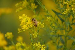 Honey Bee Searches per polline sui fiori gialli immagini stock