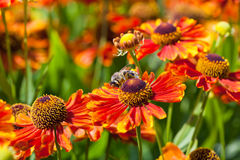 Honey bee sips nectar from gaillardia flower. Close up Stock Photography