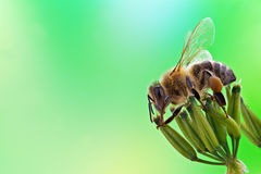 Honey bee. Sits on inflorescence, green background stock photography