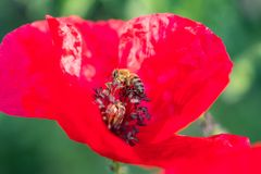 Honey Bee sitting inside red poppy flower. focus royalty free stock images