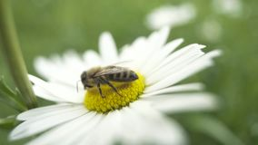 Honey bee sitting on a white daisy flower. Video of honey bee sitting on a white daisy flower stock video footage