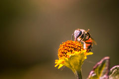 Honey Bee. A small honeybee collecting honey from a flower Royalty Free Stock Photos