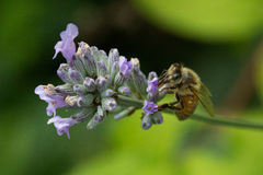 Honey Bee. A small worker honey bee flies from flower to flower collecting nectar to take back to the hive Royalty Free Stock Photo