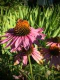 Honey Bee som pollinerar och samlar nektar på en purpurfärgad blomning för kotteEchinaceablomma i sommarställeträdgårdcloseupen U Royaltyfria Bilder