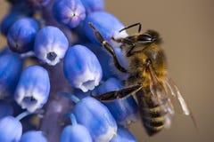 Honey Bee som samlar pollen från blommor Royaltyfri Fotografi