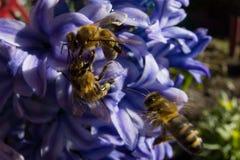 Honey Bee som samlar pollen från blommor Fotografering för Bildbyråer