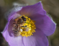 Honey bee on spring flower Stock Photography