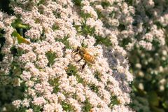 Honey bee on St. Catherine`s Lace Eriogonum giganteum flowers Royalty Free Stock Photography