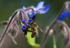 Honey bee and starflower Royalty Free Stock Images