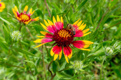 Honey Bee su un Wildflower ruota del fuoco o (di Texas Indian Blanket) Fotografia Stock Libera da Diritti