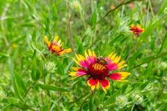 Honey Bee su un Wildflower ruota del fuoco o (di Texas Indian Blanket) Fotografie Stock Libere da Diritti