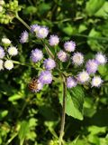 Honey bee is sucking nectar of Ageratum conyzoides or Billygoat weed or Goatweed or Whiteweed flower. Honey bee is sucking nectar of Ageratum conyzoides or royalty free stock photography