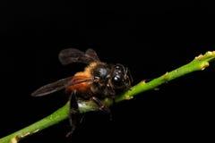Honey Bee sui fiori o sulla foglia fotografia stock libera da diritti