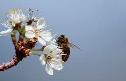 Honey Bee sul fiore della pera Fotografia Stock
