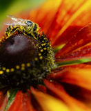 Honey Bee sul fiore giallo, fine sulla macro Immagine Stock Libera da Diritti