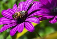 Honey Bee sul lavoro Immagini Stock