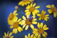 Honey Bee sulla margherita gialla fotografia stock
