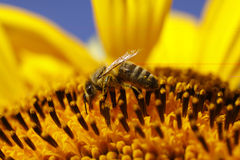 Honey bee on sunflower Royalty Free Stock Photography