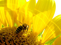 Honey bee on a sunflower. Honey bee collecting sunflower's pollen royalty free stock photo