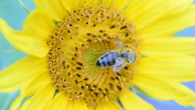 Honey bee on a sunflower Royalty Free Stock Photography