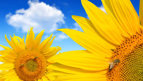 Honey bee on a sunflower Stock Images
