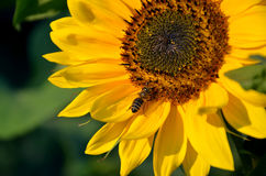 Honey bee on sunflower in bloom collect flower nectar and pollen in sunshine Royalty Free Stock Image