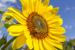 Honey bee on sunflower Stock Photography
