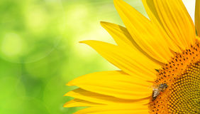 Honey bee on a sunflower Royalty Free Stock Image