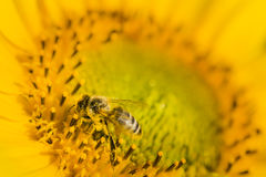 Honey bee on sunflower. Honey bee feeding and collecting polen on sunflower Stock Photos
