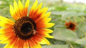 Honey Bee in Sunflower stock video