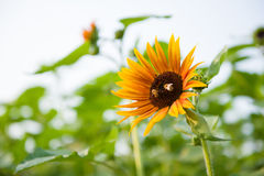 Honey bee in sunflower. Field Stock Images