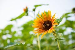 Honey bee in sunflower Stock Images