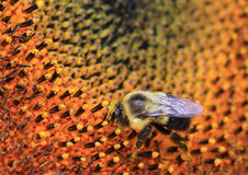 Honey bee on a Sunflower Stock Image