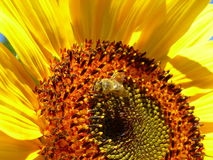 Honey bee on a sunflower Royalty Free Stock Photos