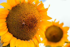 Honey-Bee on sunflower Stock Photo