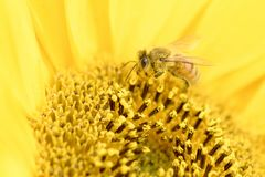 Honey Bee on sunflower. Side view of a Honey bee collecting pollen on a sunflower Stock Image
