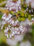 Honey Bee sur la bruyère d'arbre images libres de droits