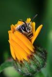 Honey Bee sur la fleur jaune Image stock