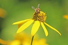 Honey Bee sur la marguerite jaune photographie stock libre de droits