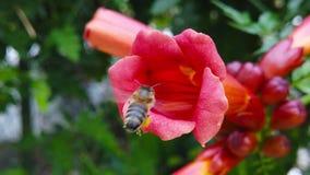Honey Bee sur le mouvement lent de la fleur 01 de vigne de trompette clips vidéos