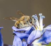 Honey Bee sur Scilla Sibirica Images libres de droits
