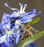 Honey Bee sur Scilla Sibirica Photo libre de droits