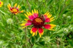 Honey Bee sur un Wildflower de Texas Indian Blanket (ou roue du feu) Photo libre de droits