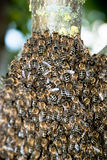 Honey Bee Swarm Close Up Royalty Free Stock Images